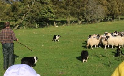 Разнообразие пород пастушьих овчарок