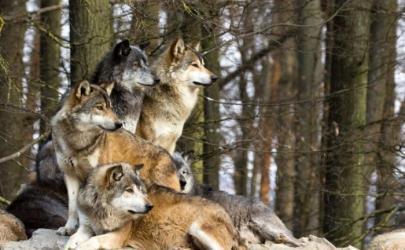 Теория происхождения и одомашнивания собак