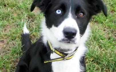 Разноцветные глаза – причина одиночества собаки