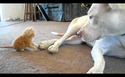 Котенок и питбуль
