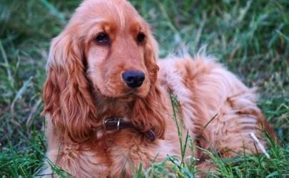 Пироплазмоз собак, мой опыт