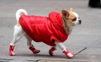 Нужна ли обувь для собаки?