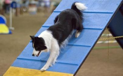 Аджилити - собачий вид спорта