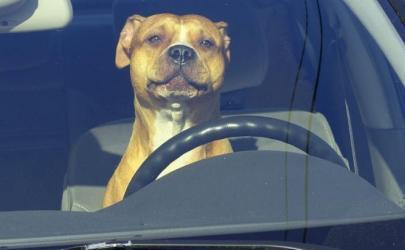 Собака водитель