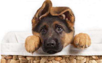 Воспитание щенка в первые дни его жизни в новом доме.
