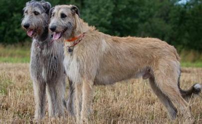Ирландский волкодав- дракон царства собак.