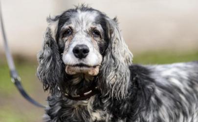 Когда у собаки наступает старость?