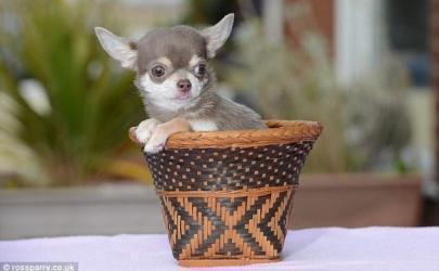 Самая маленькая собака Великобритании
