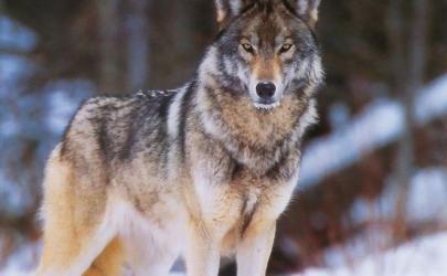 Изменение климата в Америке превратило леса в равнины, собак в волков