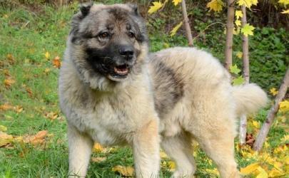 Короткошерстная кавказская овчарка: домыслы и реальность