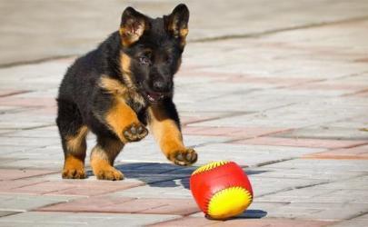 Дрессировка щенка до трех месяцев