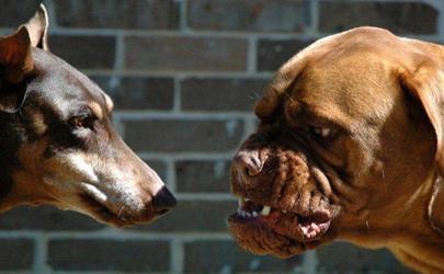Как собаки общаются между собой