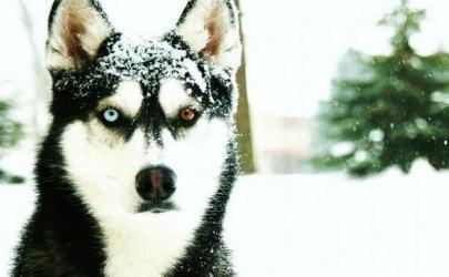 Переохлаждение и обморожение у собак, признаки гипотермии