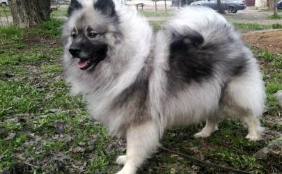 13 пород собак, у котрых хвост крючком