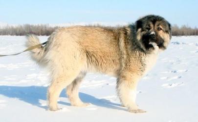 Кавказская овчарка - как выбрать щенка и воспитать его