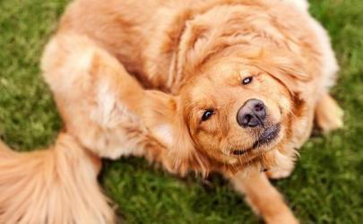Опасность появления блох у собак. Методы борьбы с паразитами