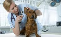 Распознаем и лечим отит у собак