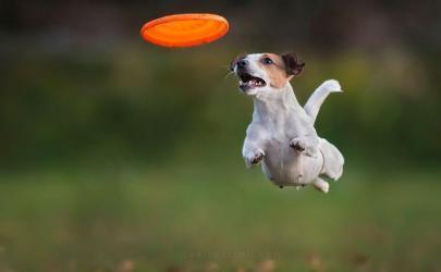 Фотографии собак в полете за фрисби