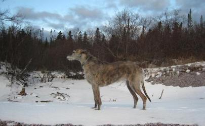 Американская оленья собака