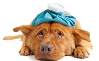 Симпотомы и лечение вирусного гепатита собак