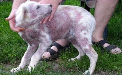 В чем опасность демодекоза у собак