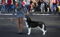 Психология собаки и хозяина на выставке. Что, как и когда делать.