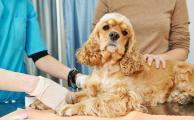 Что делать, если собака вывихнула лапу