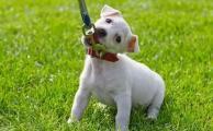 Как приучить щенка к поводку?