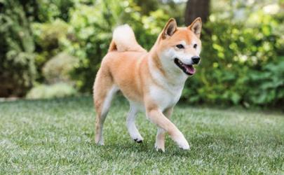 Как воспитывать собаку породы сиба-ину