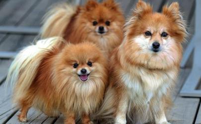 Особенности маленьких пород собак